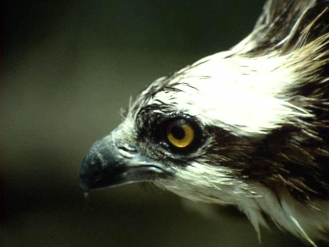 72_osprey_head